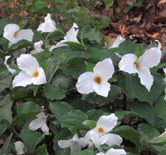 Trillium grandiflorum