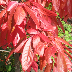 Fall Oxydendrum-BFreeman