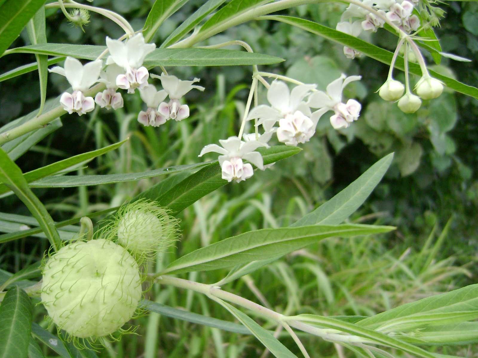 Asclepias physocarpa aka Gomphocarpus physocarpa – Balloon Plant, aka Hairy Balls or Swan Plant