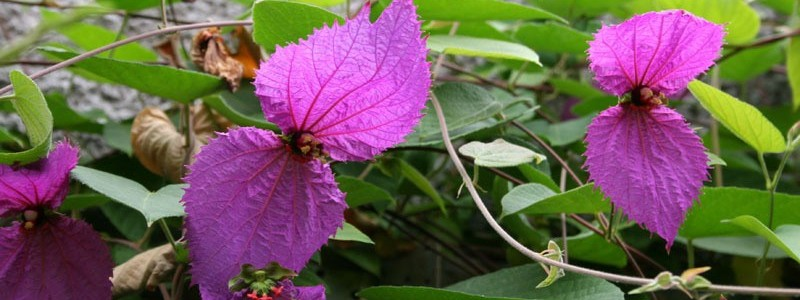 Plantastic! Dalechampia dioscoreifolia – Costa Rican Butterfly or Bowtie Vine