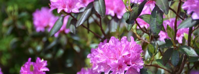 SM Giles Rhododendron Garden