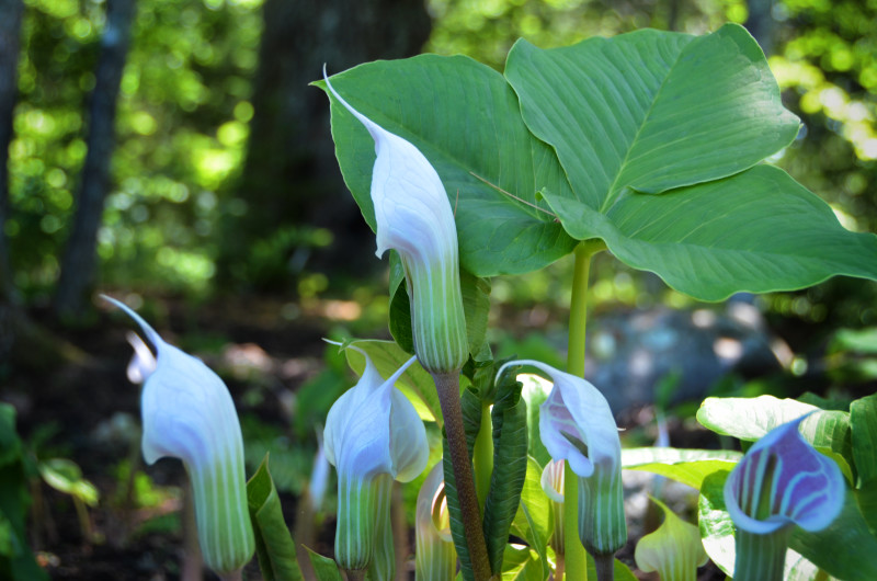 Arisaema candidissimum Pink-flowered White-striped Cobra Lily