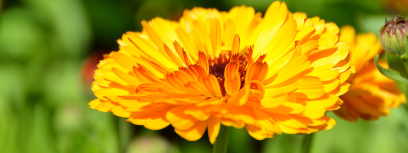 Calendula in ACG