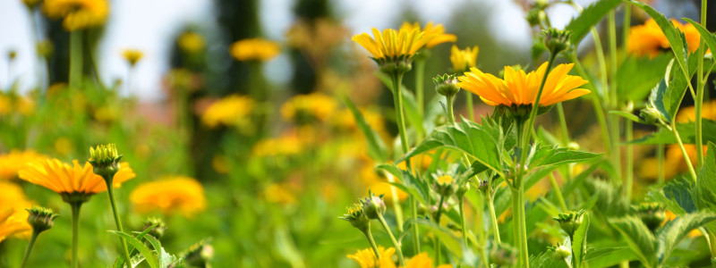 Heliopsis helianthoides var scabra 'Sommersonne' Summer Sun False Sunflower DSC_7280