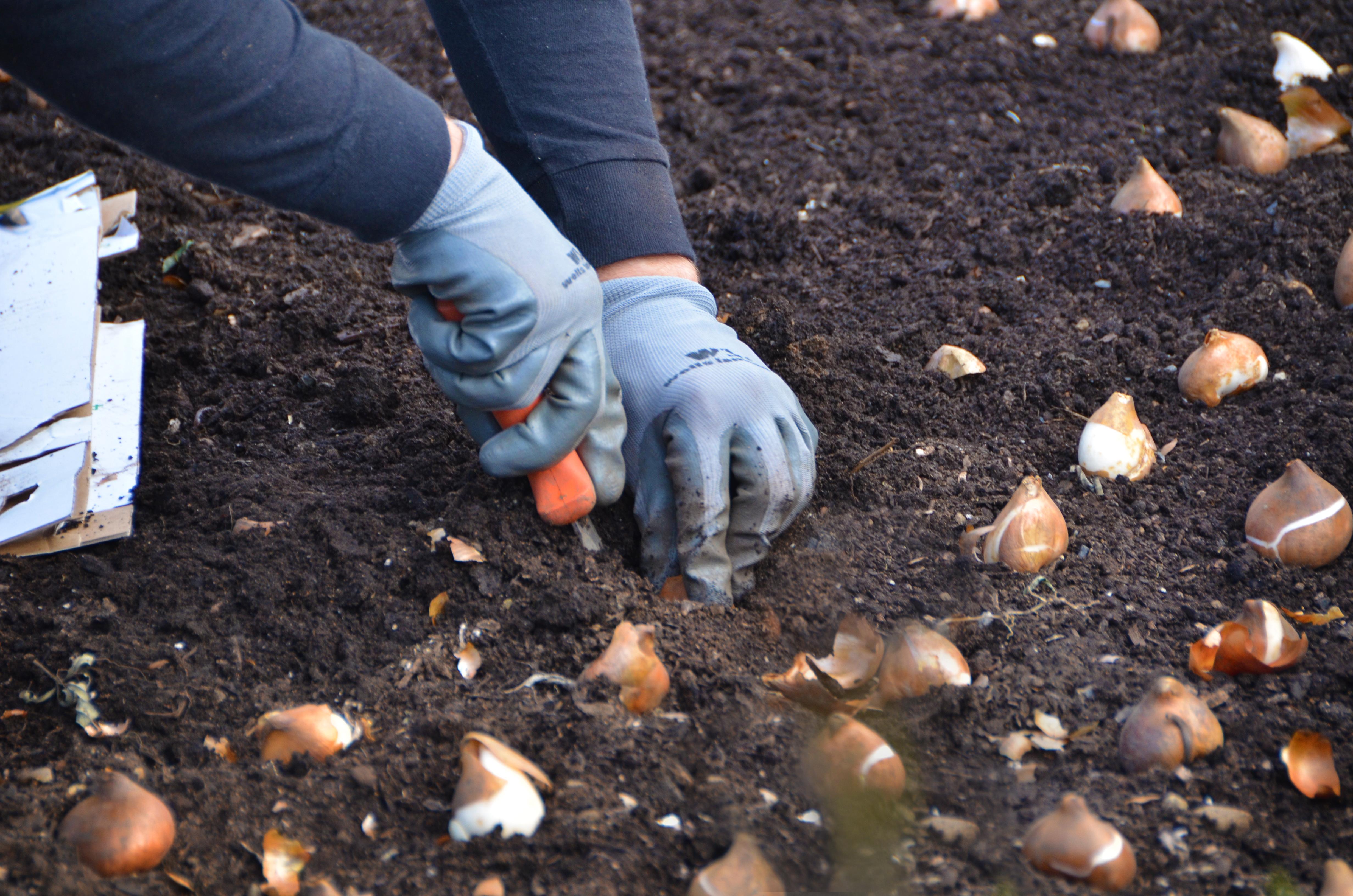 Dan planting tulips