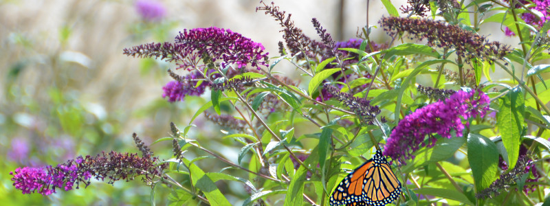 Monarch on Buddleja davidii 'Attraction' Butterfly Bush
