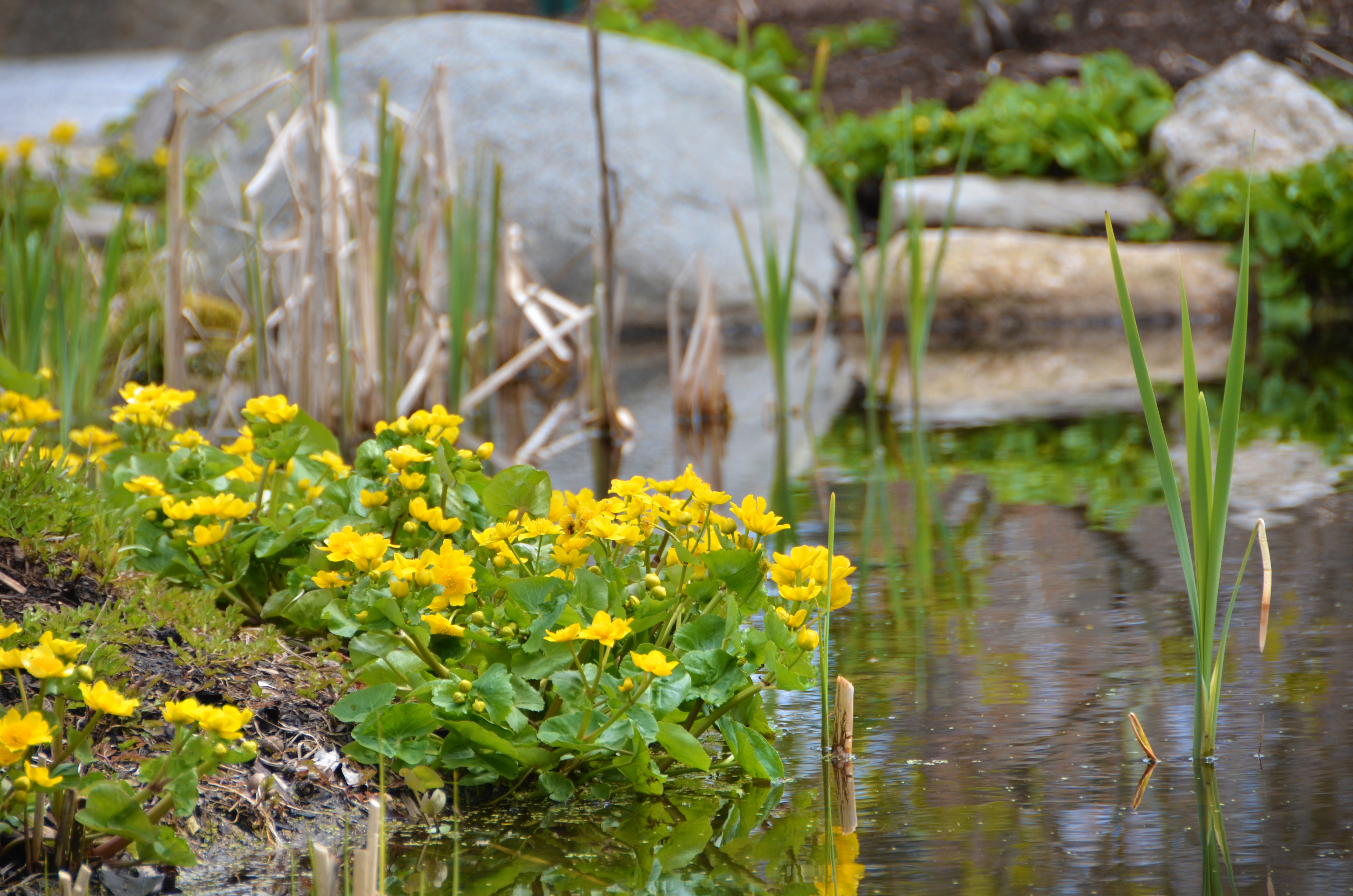 Caltha palustris Marsh Marigold DSC_3375