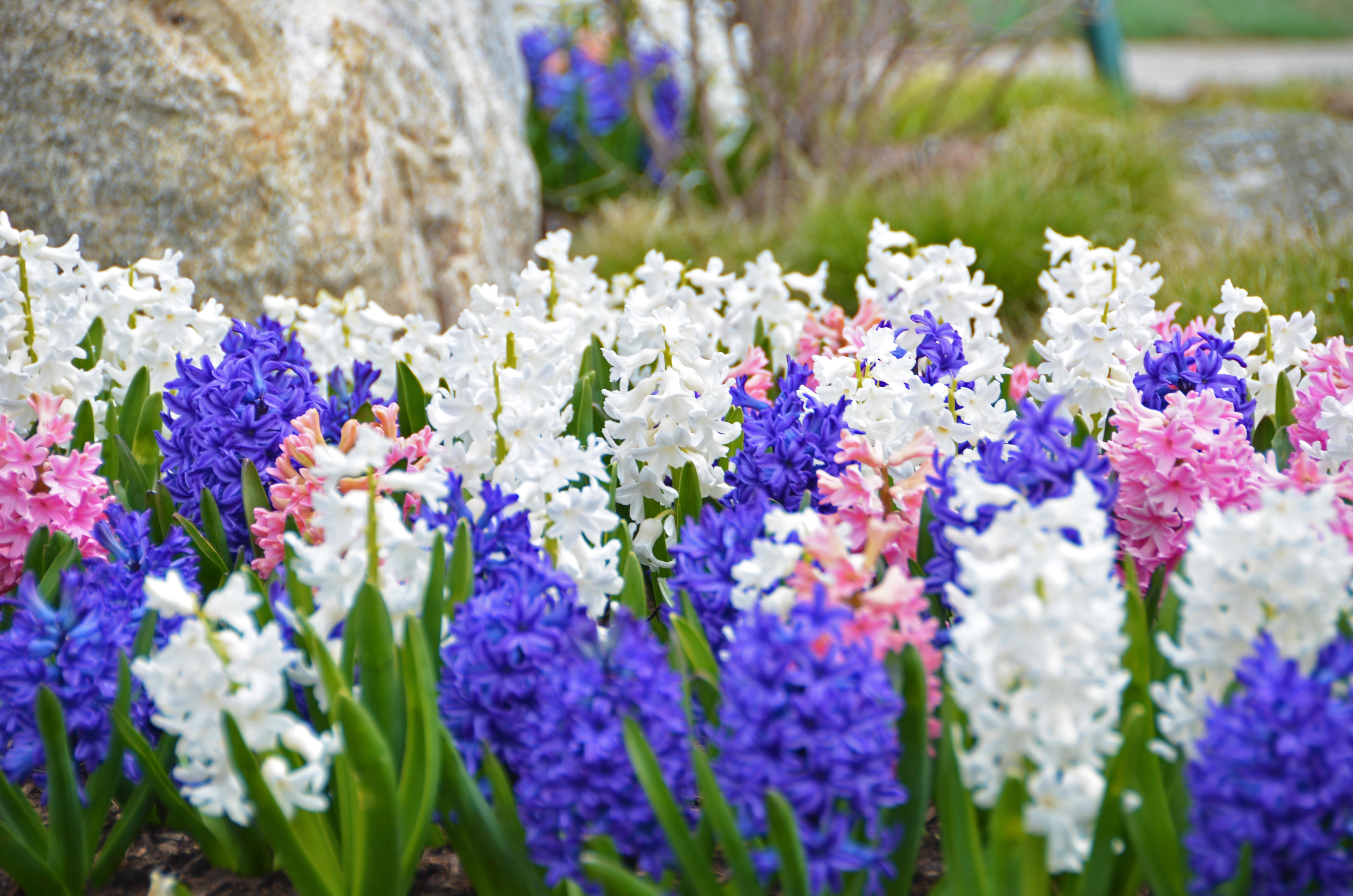 Lerner Hyacinth DSC_3390