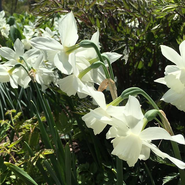 Narcissus 'Thalia' Triandrus Daffodil