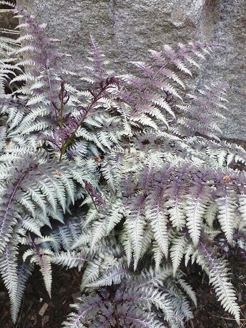 Athyrium 'Ghost' fern