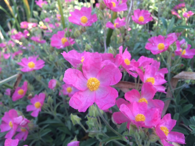 Cistus 'Bicolor Pink' small flowered rock rose