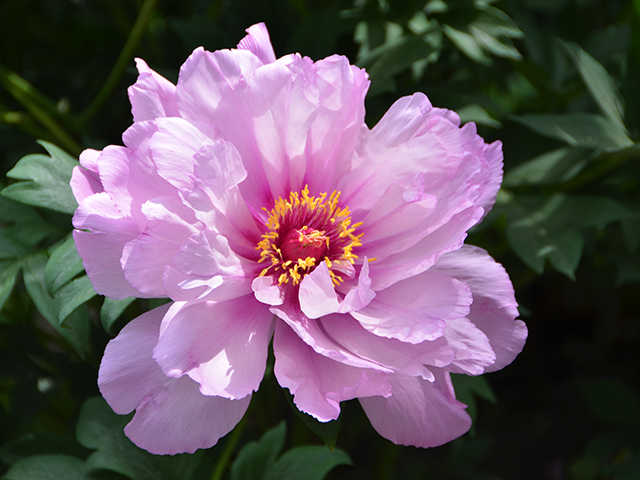 Paeonia 'First Arrival' intersectional (ITOH) peony
