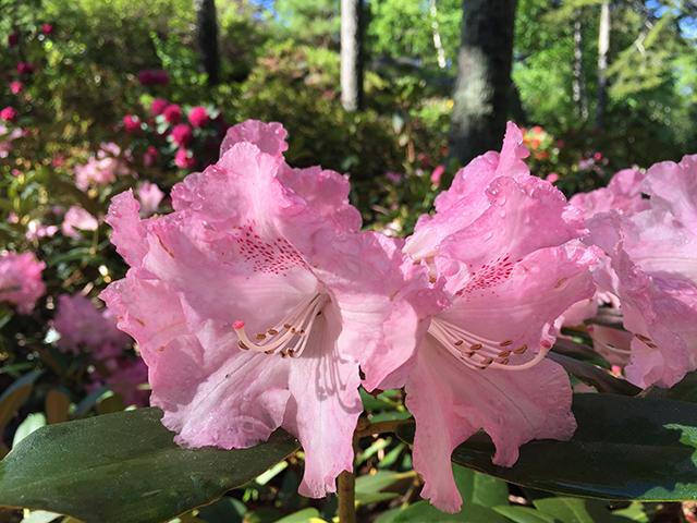 Rhododendron 'Solidarity'