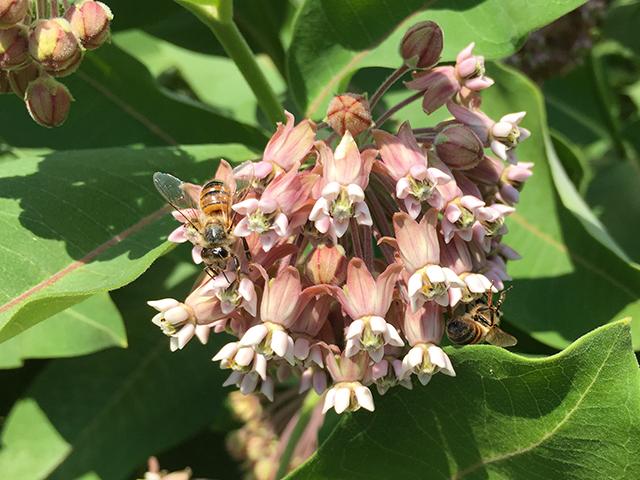 bees on milkweed IMG_5880