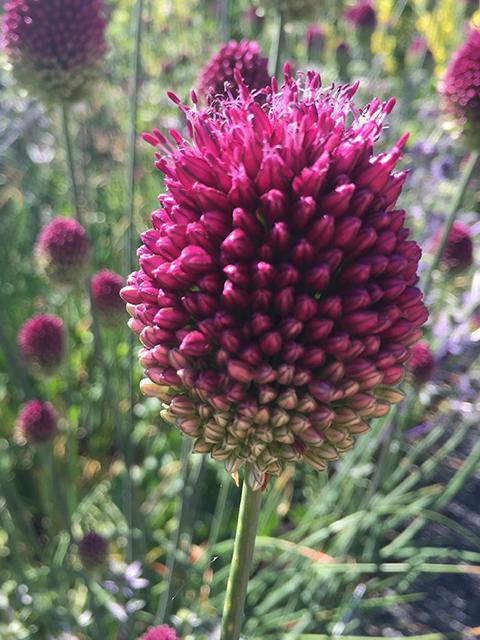 Drumstick Allium 640x480