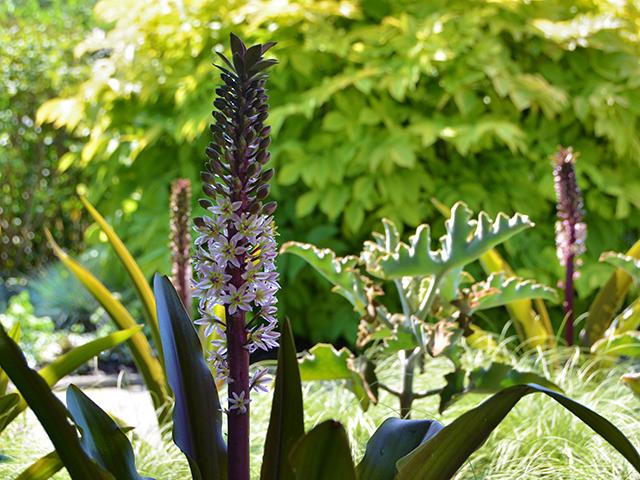 Eucomis 'Oakhurst' pineapple lily DSC_7669