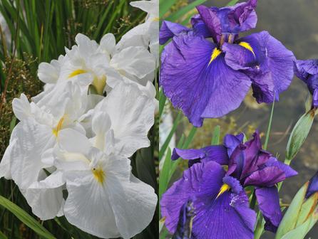 Iris Pair 640x480