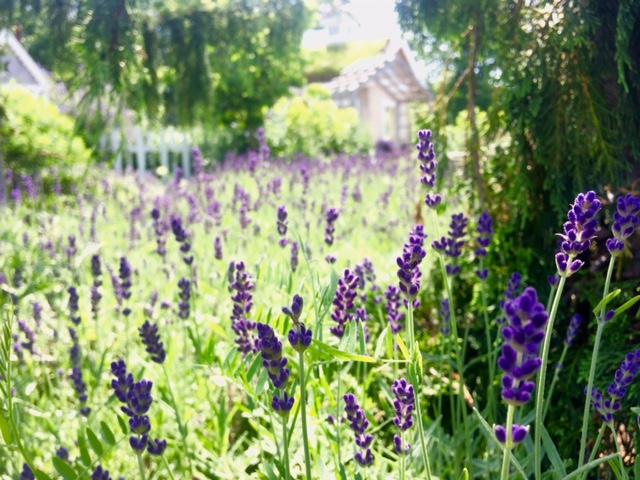 Lavandula angustifolia 'Hidcote' lavender