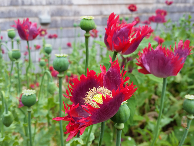 Papaver somniferum Diane's Breadseed Poppies