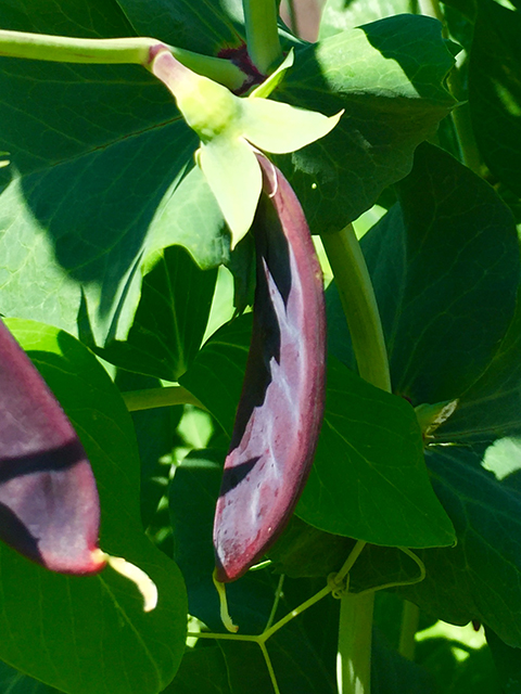 Purple Podded Pea 640x480
