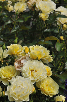 ROSA 'YELLOW SUBMARINE'-DS6_1273_SZ336