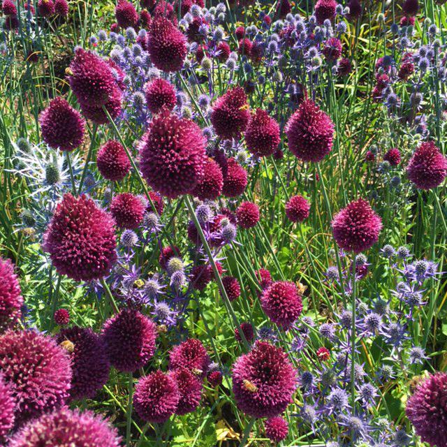 sm Allium sphaerocephalon drumstick allium and Eryngium planum 'Blue Glitter'