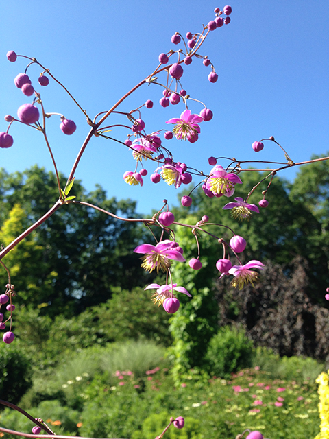 sm Thalictrum rochebrunianum giant meadow rue