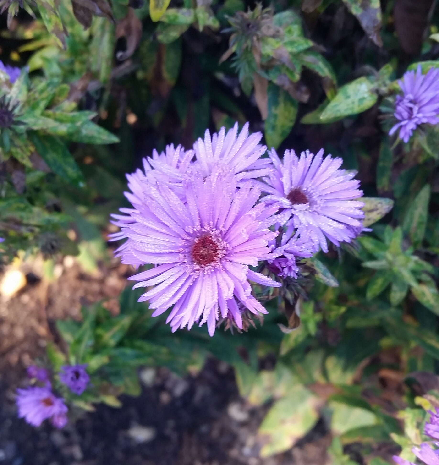 e60e08269f68 Symphyotrichum novae-angliae  Vibrant Dome  New England Aster  This beauty  has a purple flower that when the sun hits it just right