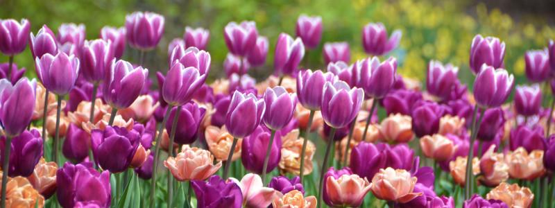 SM Tulips near Event Lawn