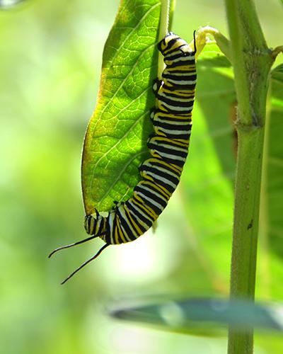 Monarch Caterpillar DSC_0499sm4x5
