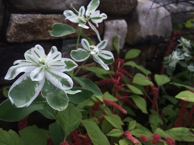 Euphorbia marginata 'Mt. Snow'