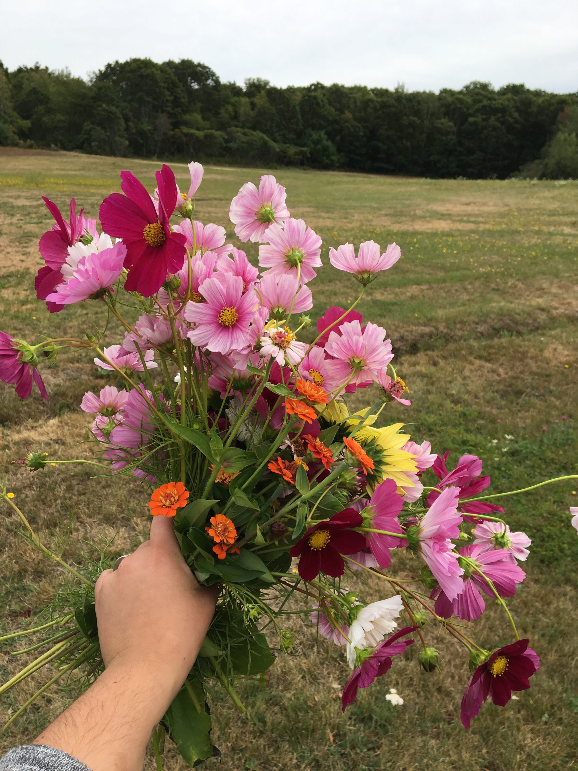 A handful of cut cosmos flowers