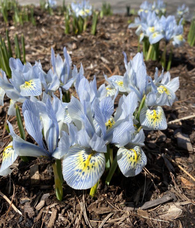 Katharine Hodgkin reticulated iris