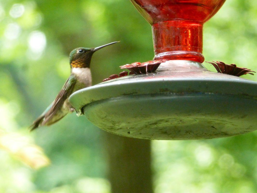 hummingbird at photo