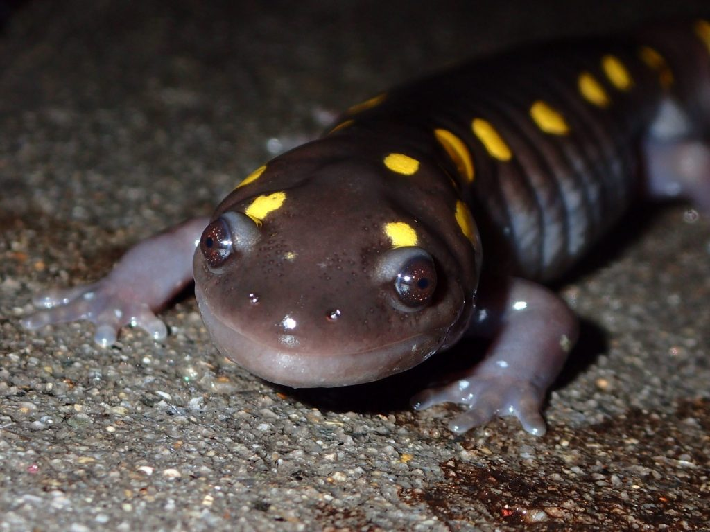 """A yellow-spotted salamander crossing to a vernal pool in the """"Big Night."""" Spring 2020."""