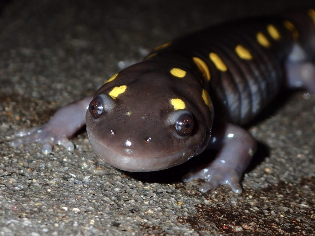 A yellow-spotted salamander crossing to a vernal pool in early spring.