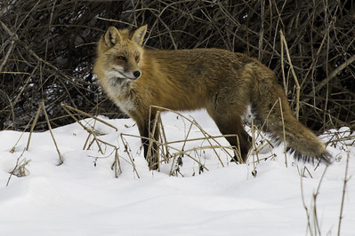 A red fox stands in the snow, looking off to the side.