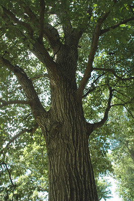 Trunk and branches of the northern red oak tree, Quercus rubra